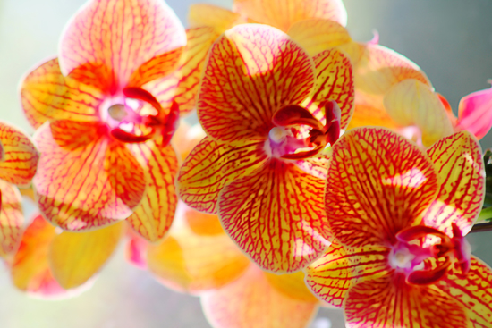 Orchids in the Sun - horizontal