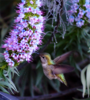 Hummer on Purple Flowers