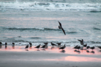 Sea Birds at Sunset